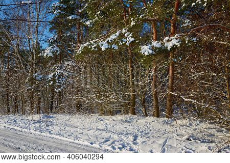 The Edge Of The Forest On A Bright Winter Day. Pine Trees At The Edge Of A Snowy Field.