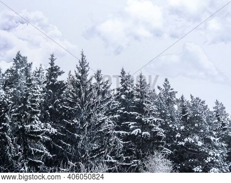 The Tops Of Pine Trees In A Dense Forest Against The Background Of A Cloudy Sky. Background Winter F