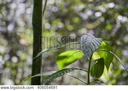 Greta Oto Is A Species Of Brush Footed Butterfly And Member Of The Subfamily Danainae, Glasswing But