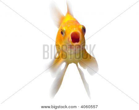 Goldfish Shouting Or Speaking
