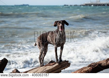 Charming Sports Hunting German Breed Smooth Haired Cop. Kurzhaar Brown With Spots Standing On Large