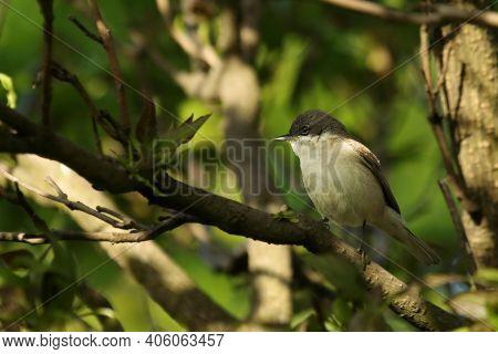 The Lesser Whitethroat (sylvia Curruca)sitting In The Three In Morning Sun. The Lesser Whitethroat L