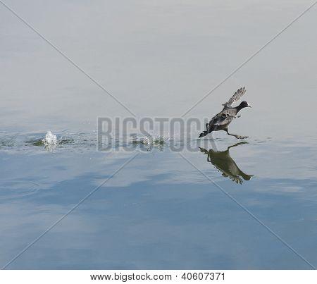 Moorhen Taking Off On Water