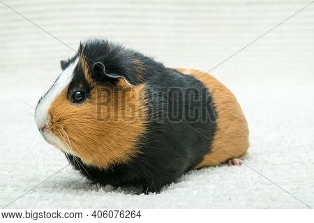 Guinea Pig, Young Guinea Pig Close-up View On A Light Background.