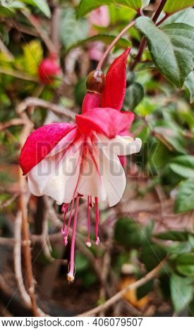 White Fuchsia Flower With Red In Spring Season, Background And Texture