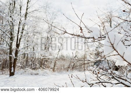 Winter Landscape, Frosty Trees In Snowy Forest In The Sunny Light, Sparkling Hoarfrost On The Branch