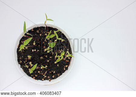 Mung Bean Microgreens In Growing Tray On A White Background. Fresh Green Sprouted Mung Beans. Young