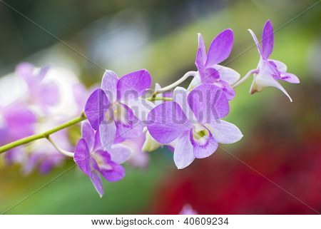 Orchid Flower In The Tropical Asian