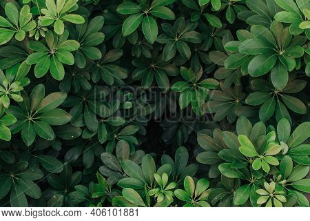 Green Leaves Pattern Background, Natural Background And Wallpaper. Green Leaves Color Dark Tone Afte