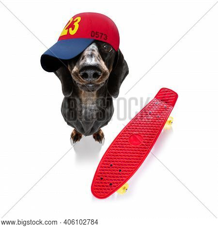 Cool Casual Look Dachshund Sausage  Dog Wearing A Baseball Cap Or Hat , On A Skateboard