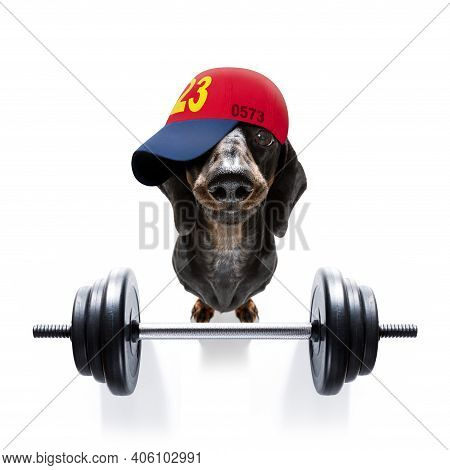 Fitness Sausage Dachshund Dog Lifting A Heavy Big Dumbbell, As Personal Trainer , Isolated On White
