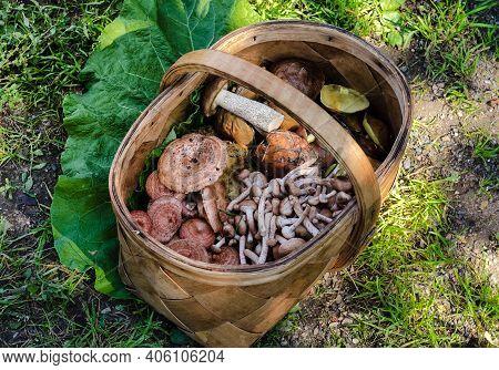 Large Wicker Basket Is Filled With Wild Mushrooms Of Various Varieties.