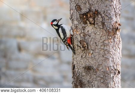 Little Woodpecker Sits On A Tree Trunk. A Woodpecker Obtains Food On A Large Tree. The Great Spotted