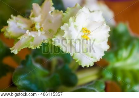 Blooming Home Decorative Flowers African Violet Saintpaulia Irish Laughter, Llg-herringshaw Selectio