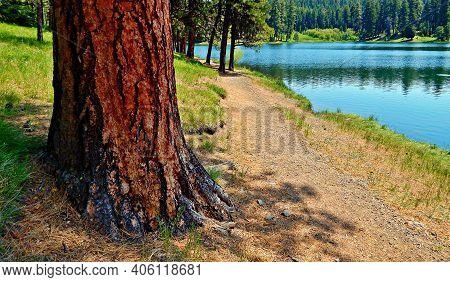 Pine By The Shore - A Ponderosa Pine Scene On The North Shore Of Walton Lake - Ochoco Mountains - No