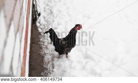 Cock In Snow. Black Cock Portrait In A Winter Landscape.