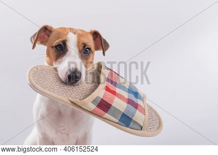 The Dog Holds In His Mouth A Slipper On A White Background. Obedient Jack Russell Terrier Gives The