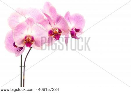 Beautiful Purple Phalaenopsis Orchid Flowers, Isolated On White Background. Moth Dendrobium Orchid.