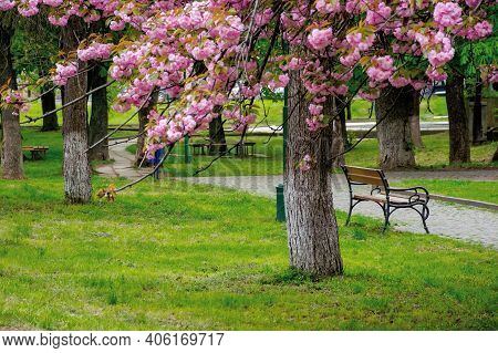 Sakura Blossom In The Park. Beautiful Nature Scenery In Springtime. Lush Pink Flowers On The Branche