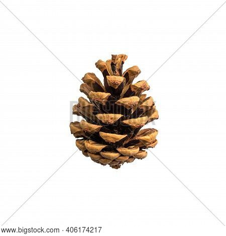 Opened Pinecone Close Up Isolated On White