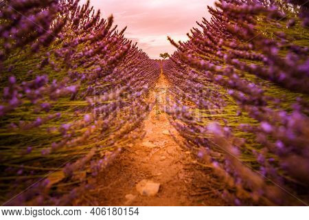 Stunning Relaxing View Of French Lavender Field At Sunset. Sunset Over A Violet Lavender Field In Pr