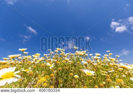 Chamomile Against The Sky. A Beautiful Scene Of Nature With Blooming Chamomile. Chamomile Spring Flo