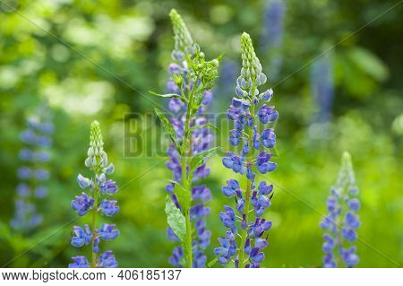 Beautiful And Delicate Blue Flowers In Green Grass. Blooming Lupine Flowers. Lupine Field. Purple An