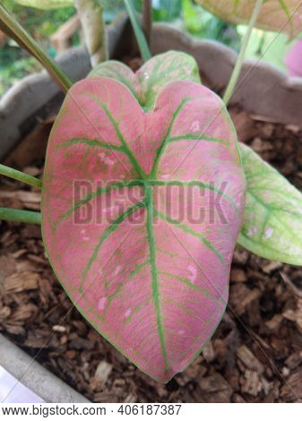 Taro Plant Whose Leaves Are Predominantly Pink And Mixed With Green