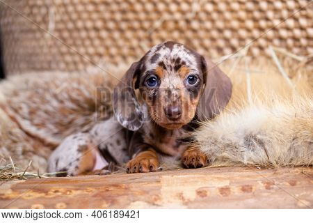Dog dachshund puppy , dog brovn tan merle color, portrait