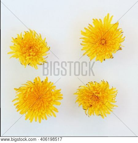 Yellow Dandelion Flower Button On A White Isolated Background, Template For Your Design, Natural Eco
