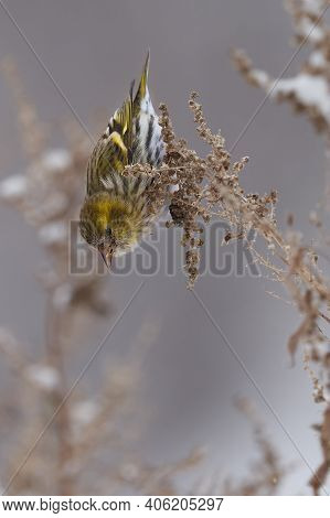 Bird - Eurasian Siskin ( Spinus Spinus ) Female Ssits On Dry Grass And Eats Last Year's Seeds. Cloud
