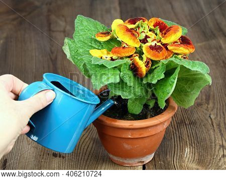 Watering Of Calceolaria Biflora, Also Called Slipper Flower. Calceolaria In A Pot On The Brown Woode