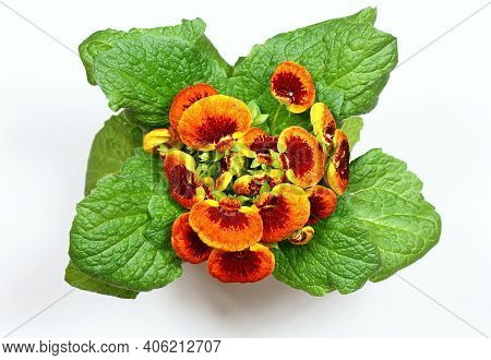 Close-up Of Flower Calceolaria Biflora On White Background, Flat Lay. Also Called Slipper Flower, Na