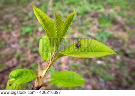 Close Up Of American Dog Tick Waiting On Plant Leaf In Nature. These Arachnids A Most Active In Spri