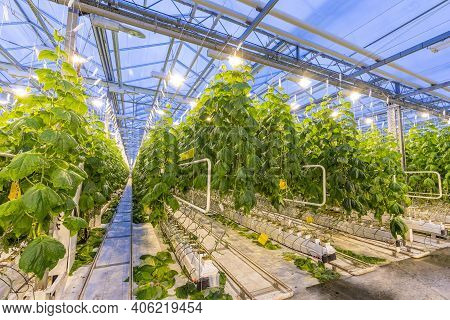 Cucumbers In A Modern New Greenhouse With Electric Lighting. Growing With Hydroponics In A Heated Gr