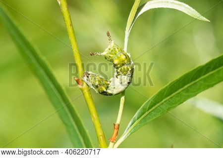 A Viceroy Butterfly Caterpillar On A Plant. It's A Bird Poop Mimic As A Caterpillar And A Monarch Bu