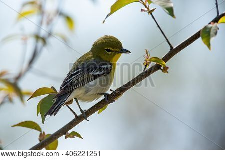 Yellow-throated Vireo Perched On A Branch During Migration.