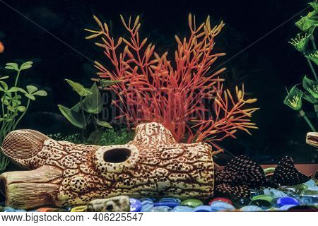 Sucker Cleaner Ancistrus Fish In Aquarium. Female Catfish Hiding In A Hollow Driftwood.