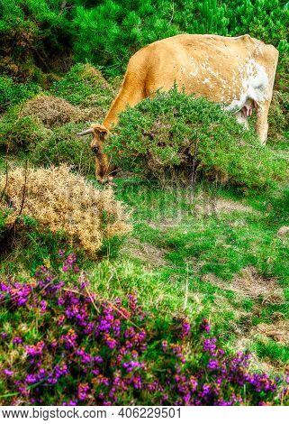 Wild Cow Eating In Baiona Mountains, Spain