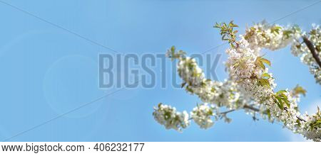 Beginning Of Spring Blooming Downy Cherry Buds White Colors Banner