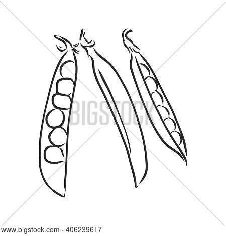 Hand Drawn Sketch Peas Sketch Set. Vector Organic Food Illustration Isolated On White Background. Pe
