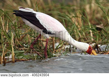 The Yellow-billed Stork (mycteria Ibis) Fishing In The River.a Large White African Stork With A Yell