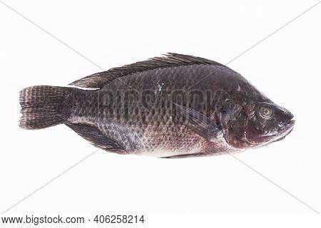 Fish, Platy Mojarra, Nilotic Tilapia, Chitralada Tilapia On White Background.