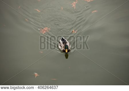Image Of A Wild Male Duck Swimming On A Pond.