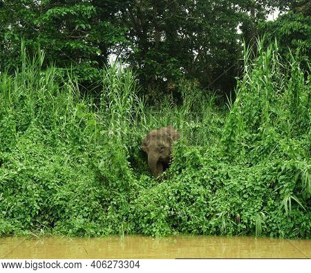 Lone Elephant Appears From The Jungles Of Borneo To Drink