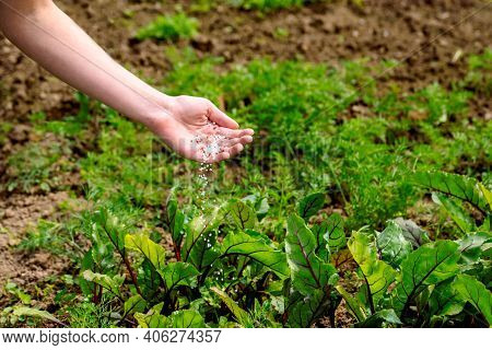 Farmer Giving Granulated Fertilizer To Young Plants. Hand Fertilize Organic Garden.young Beets And C