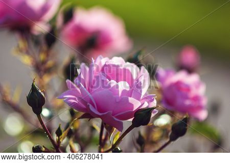 Surrey Rose - Pink Roses By Austin, Ground Cover Rose With Rich Pink Flowers