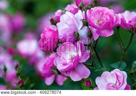 Rosa Angela (angelica) - Floribunda Rose By Kordes With Cupped, Rose-pink Flowers