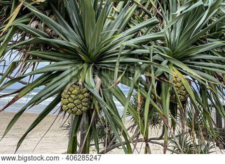 Pandanus Tree, Pandanus Tectorius, With Large And Segmented Fruit Formed By Keys Or Carpels
