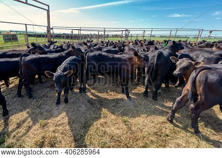 Black Angus Calves In Corral. Agriculture, Cattle Breeding.